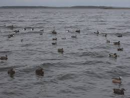 Mallards Duck Blind Duck Down Low U2014 Tips To Keep Birds Falling Into Your Decoy Spread