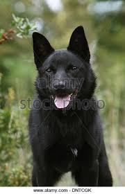belgian shepherd x kelpie australian sheep dogs stock photos u0026 australian sheep dogs stock