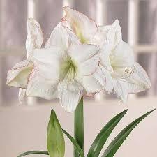 amaryllis flower bulbs garden plants flowers the home depot