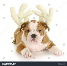 adorable english bulldog puppy wearing reindeer stock photo