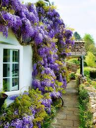 there u0027s something magical about wisteria gardening pinterest