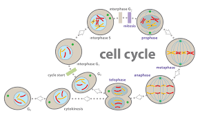 Cell Cycle Concept Map Eukaryotic Cell Cycle Diagram Image Gallery Hcpr