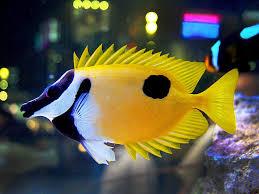 new fish fox face saltwater fish u2013 rotter tube reef