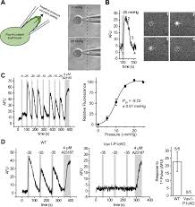 piezo1 links mechanical forces to red blood cell volume elife
