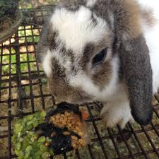 boredom busters for rabbits and chickens