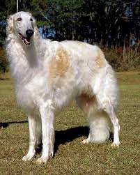 afghan hound lady and the tramp borzoi one of my favorite breeds pets and other awesome animals