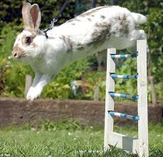 hopping bunny rabbit jumping competitions called kaninhop