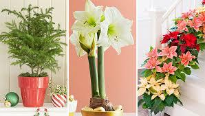 christmas plants top flowers plants