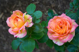 Patio Tree Rose by The Best Roses For A Shaded Garden