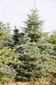 spruce trees at a christmas tree farm germany stock photo
