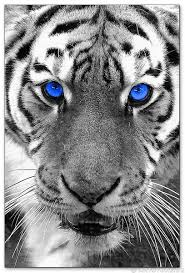 wandbilder dyrell white tiger blue kunstdrucke