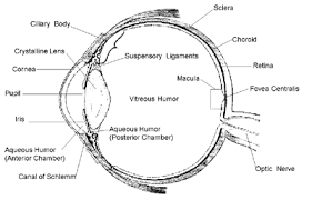 Eye Anatomy And Physiology The Eye Anatomy And Physiology Of The Eye With Inspiration Of