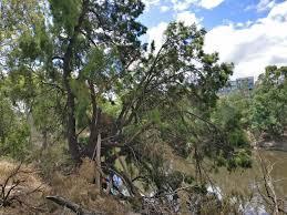australian native plant identification australian tree identification maybe pine biology stack exchange