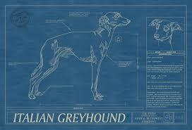 blue print size italian greyhound animal blueprint company