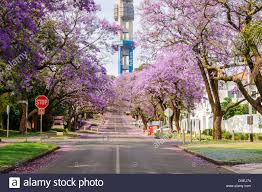 jacaranda trees in full bloom on an early spring morning lining an