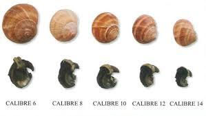cuisiner les escargots de bourgogne escargots de bourgogne croque bourgogne