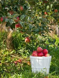 honeycrisp apple trees for sale fast growing trees