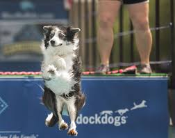 australian shepherd virginia photos dogs dive off platforms at dockdogs competition in