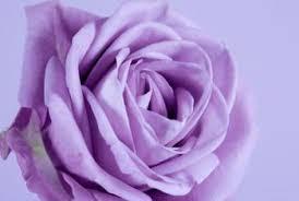 purple roses varieties of purple roses home guides sf gate