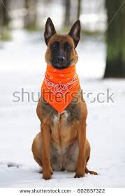 belgian shepherd new york portrait belgian shepherd dog malinois wearing stock photo