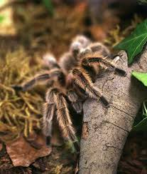 121 best tarantulas images on pinterest scary spiders spiders