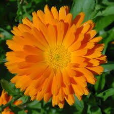 calendula flowers the herb gardener the difference between marigold and pot