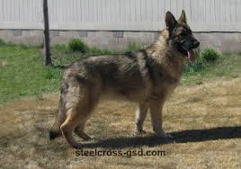 Light Sable German Shepherd Steel Cross German Shepherd Dogs