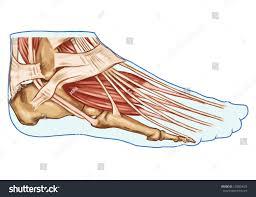 Foot Tendons Anatomy Foot Muscles Tendons Anatomy Leg Foot Stock Vector 129804623