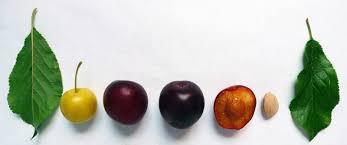 harvests cherry plum an early plum
