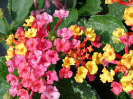 lantana floral pinterest texas plants plants and gardens