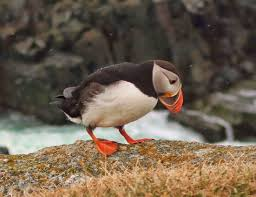 nuthin u0027 but puffins take to the highway