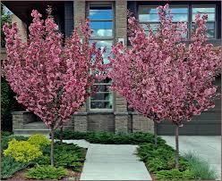 28 flowering trees flowering plum tree