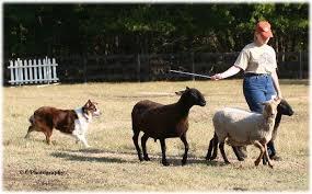 australian shepherd herding australian shepherd