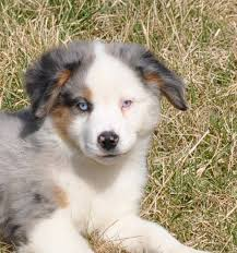 australian shepherd york center ring shepherds home facebook