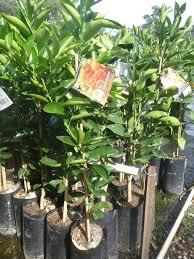 sweet viburnum 200mm pot viburnum citrus orange tree cv blood orange 5ltr budget wholesale nursery