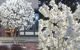 buy royal magnolia tree for sale from wilson bros gardens