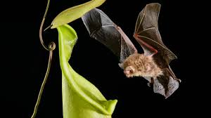 carnivorous plant u0027s sound echoes draw bats in science aaas