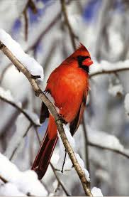 134 best cardinals winter birds images on pinterest