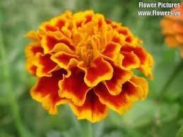 calendula flowers 400 marigold sparky mixed colors calendula flower seeds
