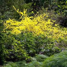 north texas native plants ranking the best flowering shrubs for north texas fort worth