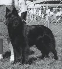 belgian sheepdog nc 1986 romulus mi belgian sheepdog club of america