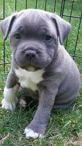 american pitbull terrier puppies for sale uk best 25 blue staffy ideas on pinterest blue staff puppies blue