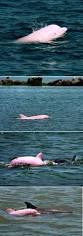 best 25 pink dolphin ideas on pinterest pink animals dolphins