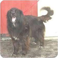 belgian sheepdog rescue groups bullwinkle adopted dog austin mn belgian shepherd