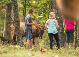 elk selfies gone wrong two gored at st louis county park prompt