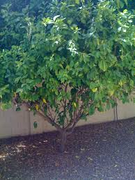 lemon tree pictures photos images facts on lemon trees