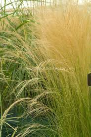 ornamental grass stock photo images images plant flower