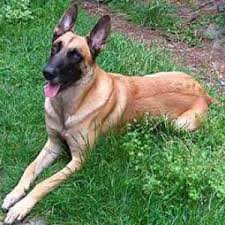 belgian shepherd kennel club belgian malinois dog breed information and facts