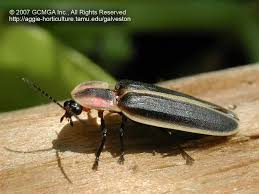 How Do Fireflies Light Up Beneficial Insects In The Garden 40 Lightning Bug Firefly