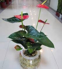 Office Desk Flowers by Online Shop Hydroponic Anthurium Indoor Bonsai Plants And Flowers